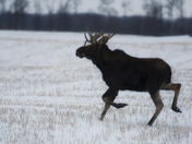Moose in Running