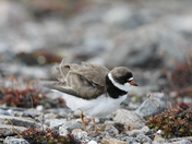 Adult Semipalmated Plover ruffling its feathers on rocky arctic tundra