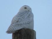Snowy Owl at Rye Beach