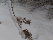 Ice weighing down a branch