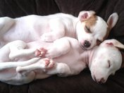 Puppy nap & dog pile