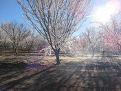 Almond Trees...all Bloom and Icicles