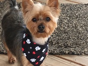 My baby Jax , he's a 2 year old Yorkshire terrier .