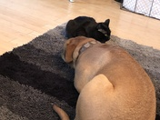My 8 year old bull mastiff Woogie and my rescued 9 month old kitty Zipper