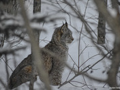 Lynx in -30c