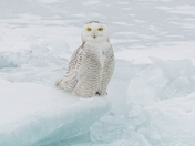 Snowy Owl floating on the ice on Lake Ontario