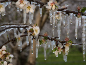 Ice Encased Blossoms