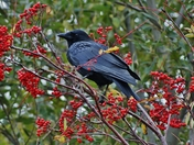 Dogberry Crow
