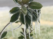 A plant covered in ice in Granite, Oklahoma