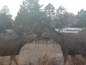 Deer kissing