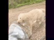Goldy Puppy