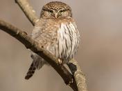 Northern Pygmy Owl (2835)