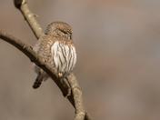 Northern Pygmy Owl (2794)