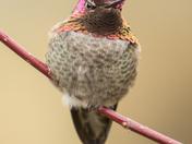 Anna's Hummingbird (6420)