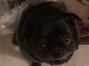 Pug smiles