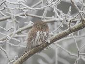 Frosty Pygmy Owl
