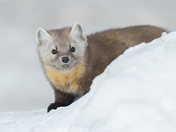 Pine Martin in the Snow