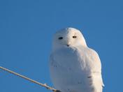 Snowy Owl male