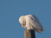 Snowy Owl male itching