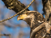 Juvenile Bald Eagle contemplating his next meal