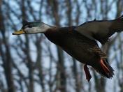 Duck on Final