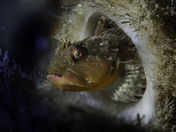 Scalyhead Sculpin in a Boot Sponge