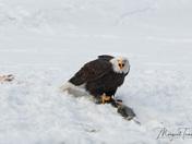 Bald Eagle guarding salmon