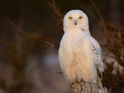 Sun setting on a Snowy Owl