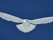 Snowy Gull
