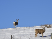 A large male buck and his female doe, stand on the side of a hill grazing on grass, peaking out through the fresh fallen snow, during rutting season