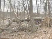 Tree falling from wind