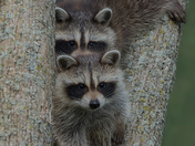 Pair of Baby Racoon's