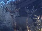 Buck buddies