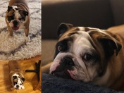 Bella the Bulldog ran away last night from Bonnycastle Avenue in the highlands