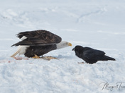 Stand-off - Bald Eagle vs Raven
