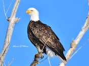 Bald Eagle in Blue