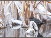 American Dipper in the reeds