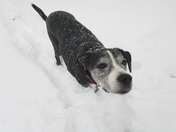 Sammy doodle Dog in the snow
