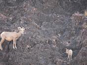Desert Bighorn Ewe and Lamb