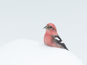 White-Winged Crossbill , Male