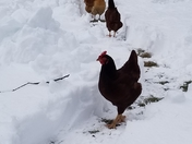 Chickens sticking to the trails
