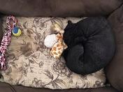 Ebony Napping