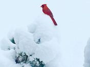 Brace cardinal!