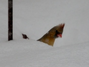 Cardinals in the snow