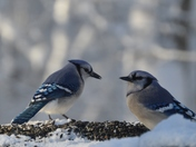 Blue jays and owl
