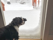 Cavalier not enjoying the snow