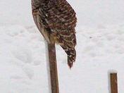 Barred Owl Looking for Breakfast