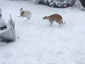 Greyhounds, Nory  and Trey, from Swampscott, enjoying the March Nor easter, storm.