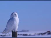 Snowy Owl on a very Sunny day