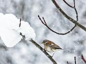 American Tree Ssparrow